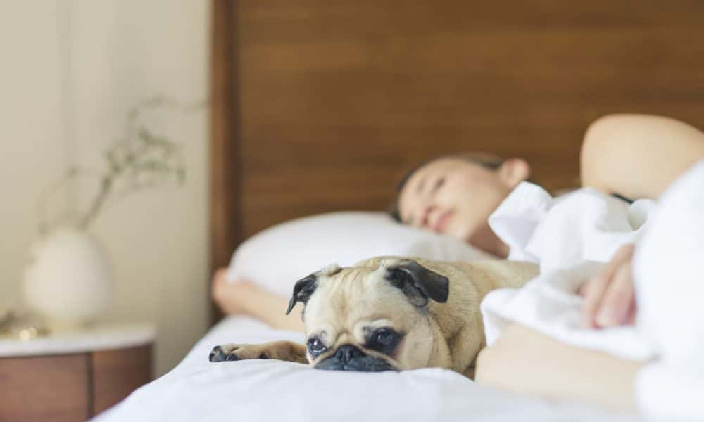 Woman and Pug Sleeping on Bed With White Sheets
